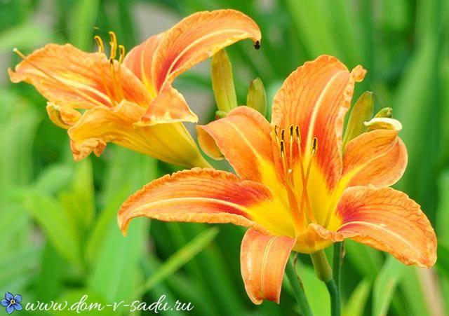 В какое время правильнее пересаживать садовые лилии