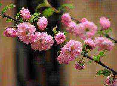 Описание сорта миндаля Розовая пена, правила посадки и ухода в открытом грунте