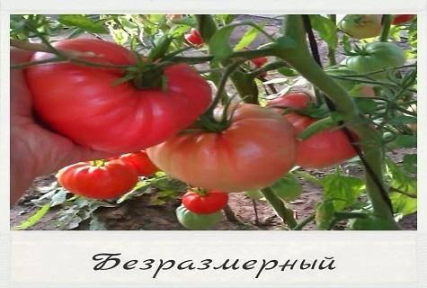 Томат безразмерный — описание сорта, фото, урожайность и отзывы садоводов