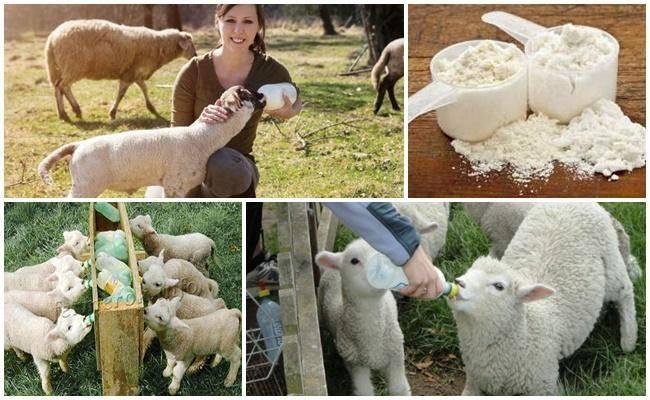 Как развести сухое молоко для поросят