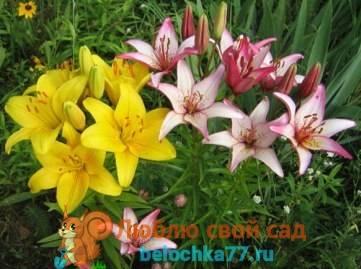 Правила посадка лилий весной в грунт: секреты бывалых цветоводов