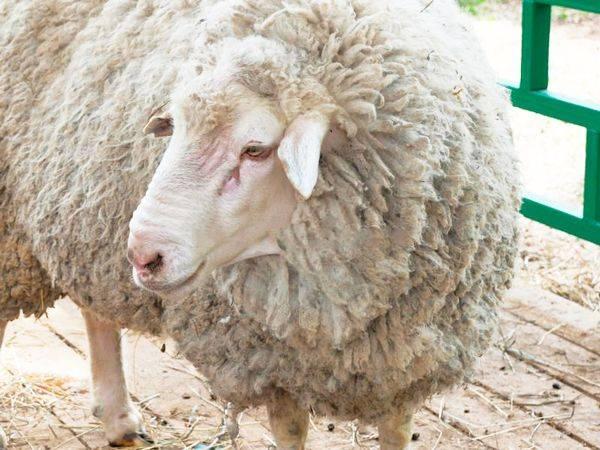 Овцы куйбышевской породы — содержание и разведение