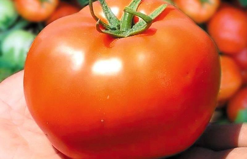 Сорт томата «король рынка»: описание, характеристика, посев на рассаду, подкормка, урожайность, фото, видео и самые распространенные болезни томатов