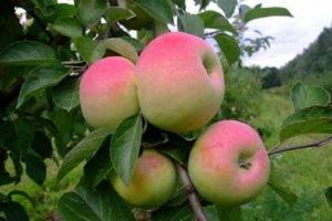 50 фото и описание яблони «мечта», посадка, уход, ее полезные свойства и противопоказания