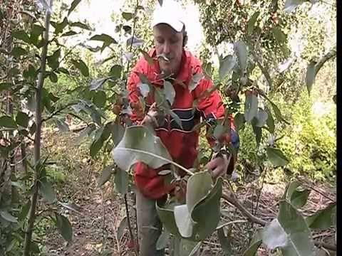 Чешская яблоня райка