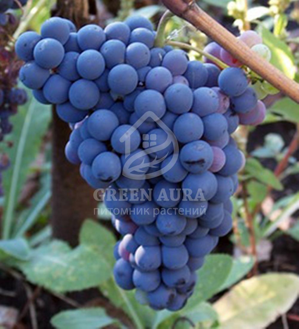 Аттика – бессемянный сорт винограда из греции