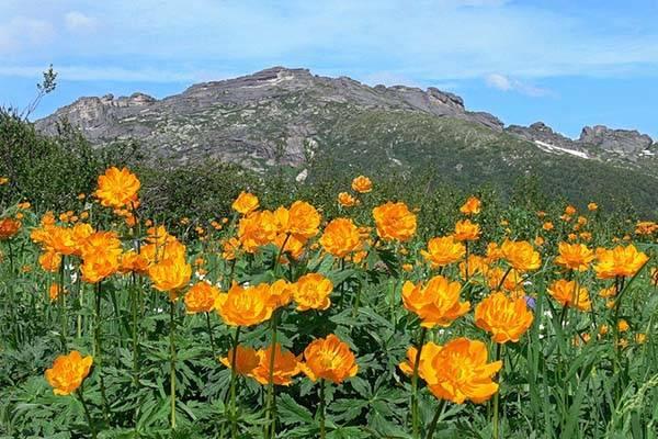 Северная красота: многолетние цветы для сибири