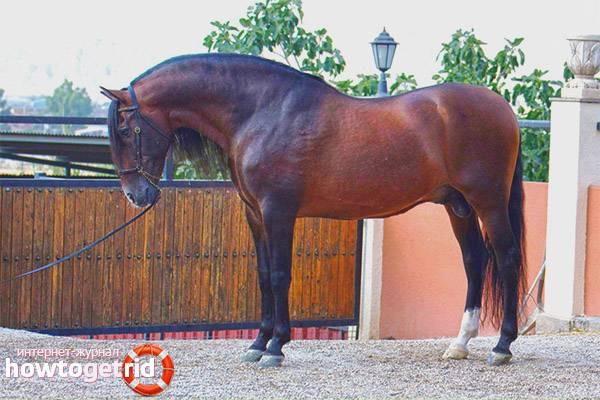 Английская чистокровная верховая — самая быстрая скаковая лошадь