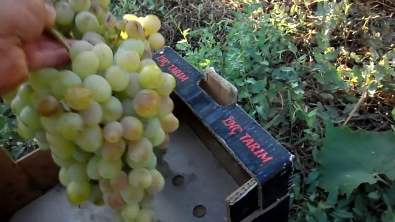 Ланселот – столовый сорт винограда
