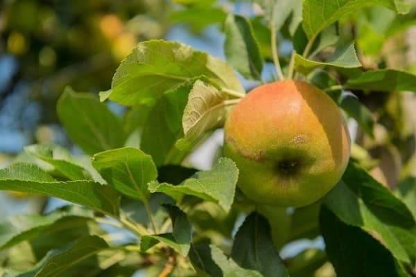 Яблоня ветеран: особенности сорта и ухода