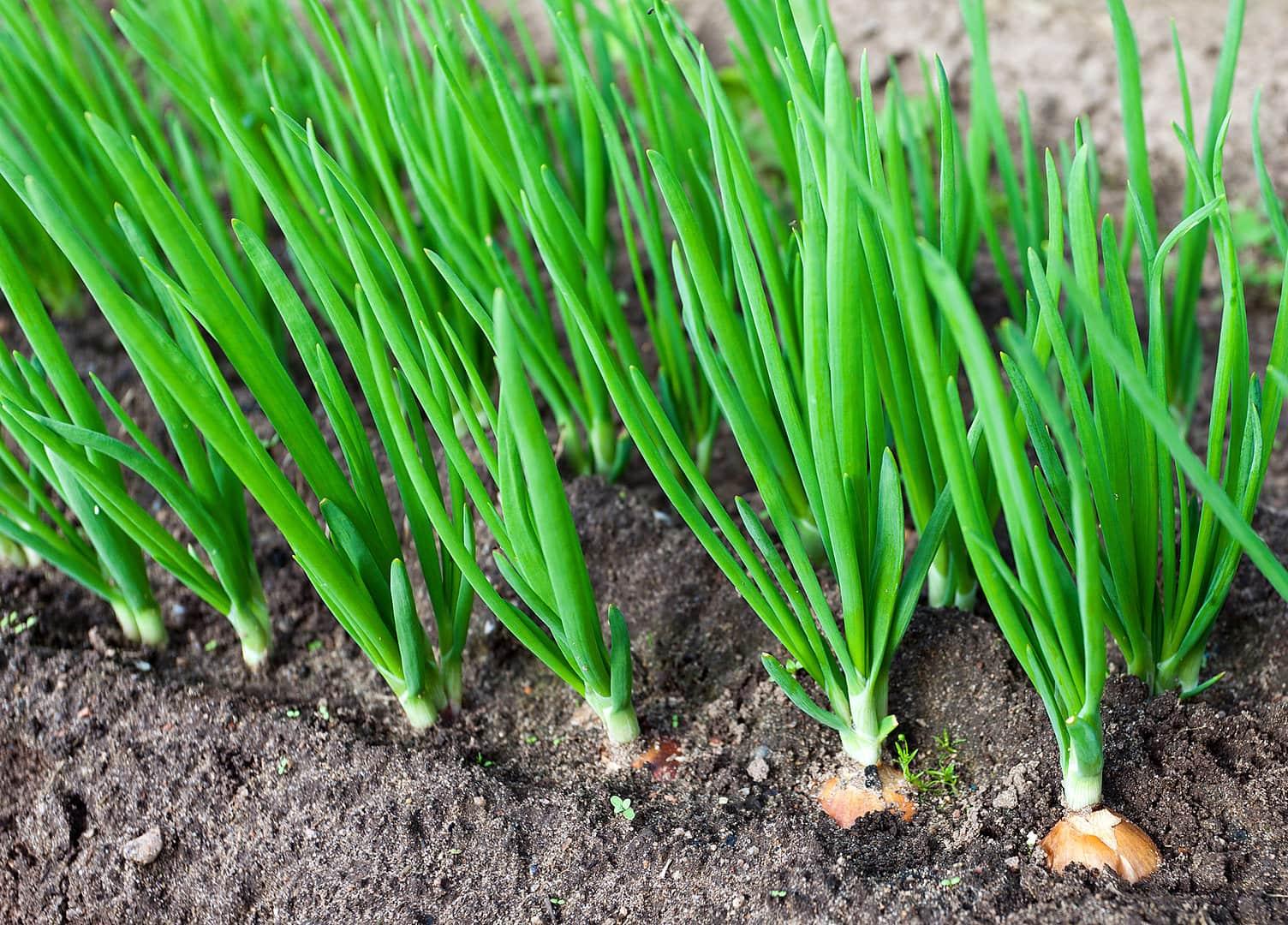 Подкормка лука севка на репку и правила ухода в открытом грунте