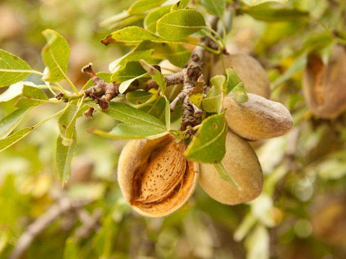 Фисташковое дерево вырастить в белоруссии. фисташковое дерево — как вырастить в домашних условиях, фото. выращивание на садовом участке и дома