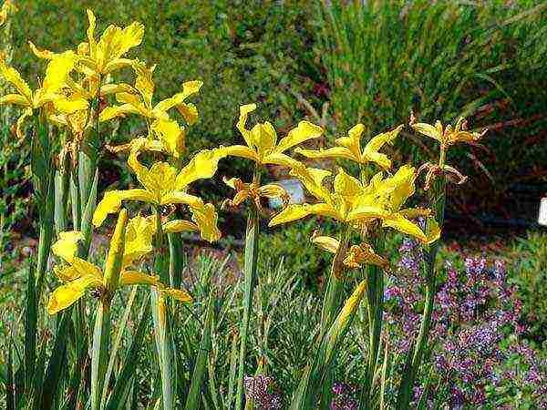 Выращивание ириса в открытом грунте на приусадебном участке: особенности сорта