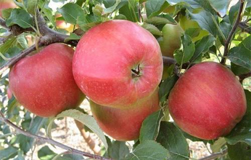 Яблоня стрела: особенности сорта и ухода