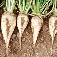 Лучшие сорта свеклы для выращивания в россии
