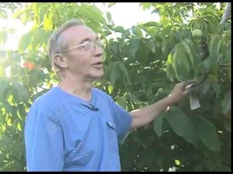 Как правильно посадить и вырастить грецкий орех, правила ухода и способы размножения