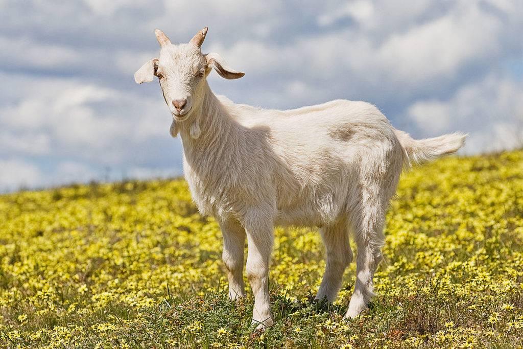 Состав и инструкция по применению эстрофаны для коз, дозировка и аналоги