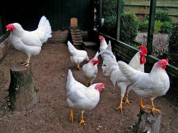 Лучшие породы куриц-несушек для дома