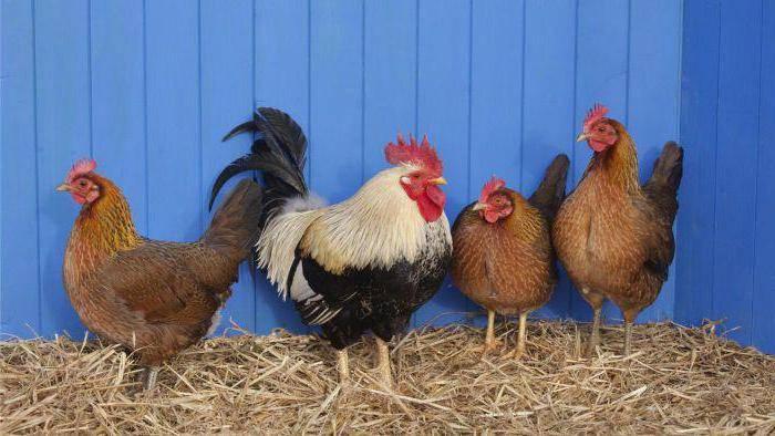 Сколько лет живут курица и петух в домашних условиях