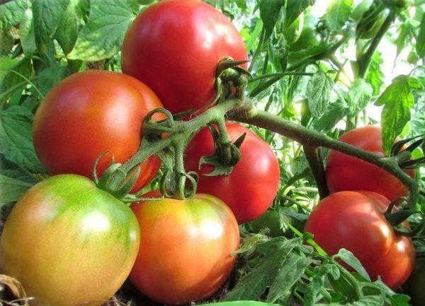 Сорт томата «ляна розовая»: фото, отзывы, описание, характеристика, урожайность