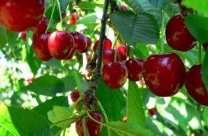 Выращивание вишни уйфехертои фюртош
