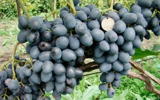 Преимущества и недостатки винограда Чарли, описание сорта и выращивание