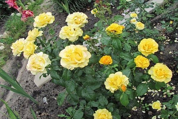Описание плетистой розы сорта индиголетта, посадка и уход