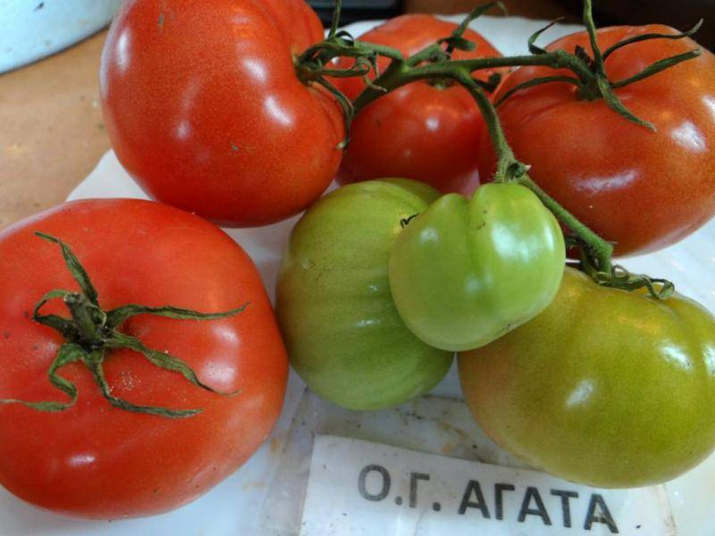 Сортовые особенности томата агата