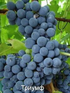 Урожайный, ранний, декоративный — сорт винограда плевен