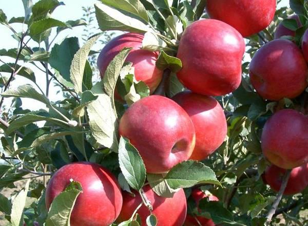 Яблоня лобо: старый сорт с крупными красивыми плодами