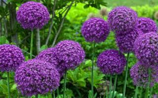 Лук слизун: выращивание и уход, рекомендации специалистов