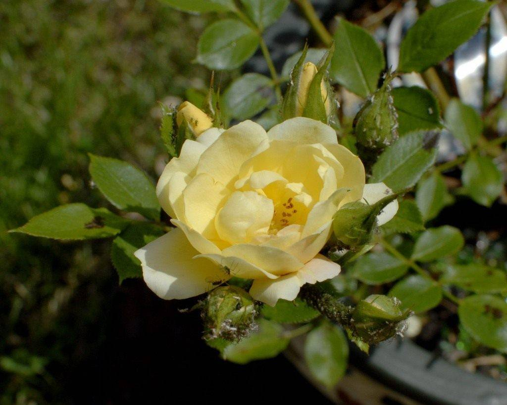 Тля на розах — как бороться с вредителями