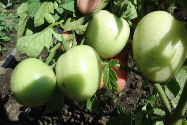 Описание томатов сорта яблоки на снегу