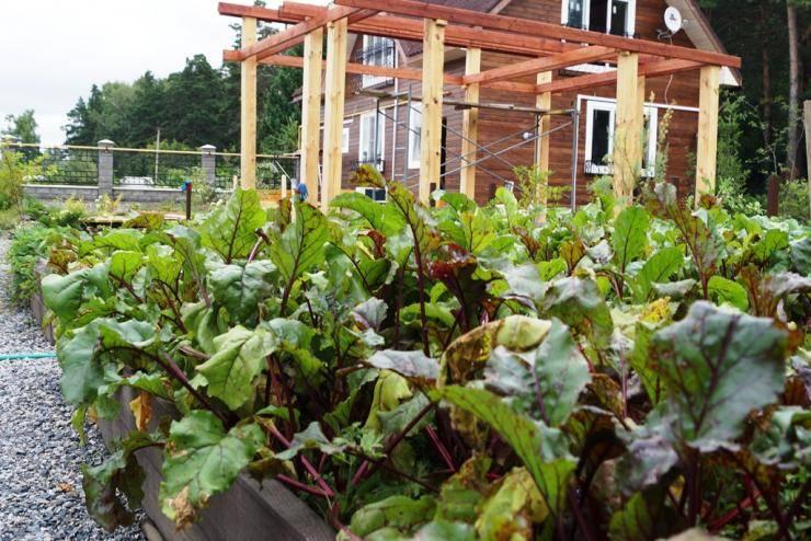 Как вырастить свеклу в открытом грунте: пошаговая агротехника