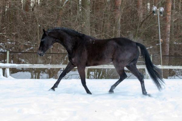 Чистокровная верховая лошадь