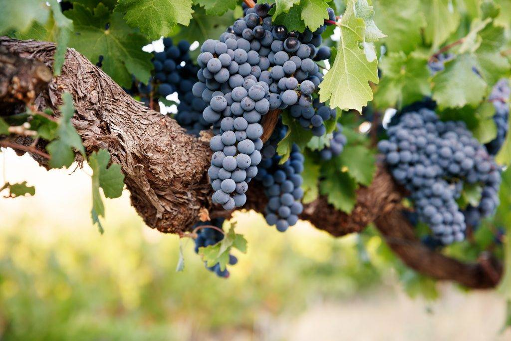 Сроки вызревания лозы винограда и чем обработать, чтобы ускорить процесс