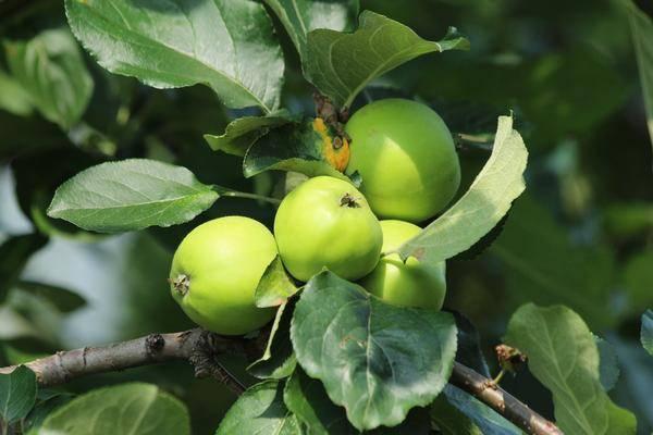 Яблоня богатырь: особенности сорта и ухода