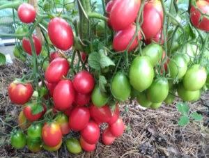 Бифселлер – полное описание и отзывы. секреты выращивания «мясного» томата