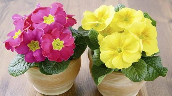 Примула комнатная: уход в домашних условиях и выращивание