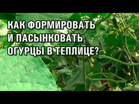 Как правильно пасынковать огурцы в теплице: пошаговая инструкция
