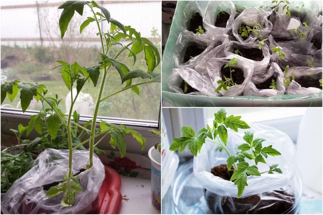 Как и когда пикировать рассаду помидоров: пошаговая фото-инструкция