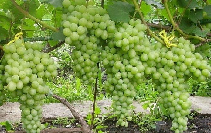 Описание и тонкости выращивания винограда сорта лорано