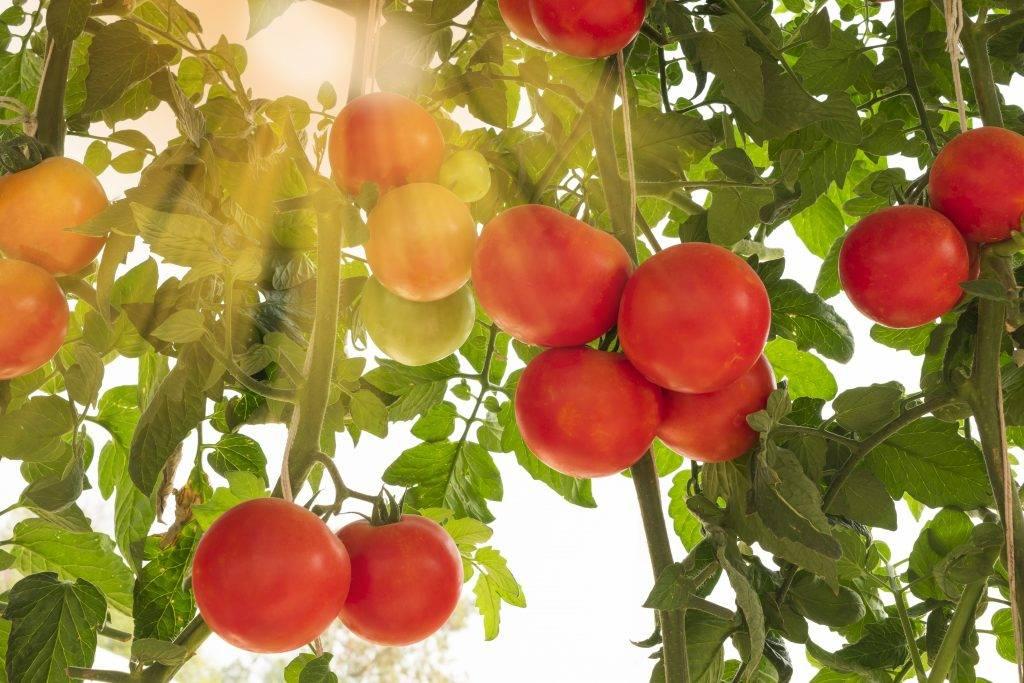 Высокоурожайный сорт устойчивый к заболеваниям — томат «малиновая сладость»