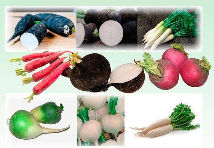 Топ сортов крупного редиса: что выбрать для выращивания в различных условиях? характеристика и фото