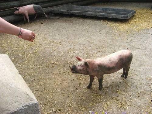 Признаки и симптомы болезней свиней, их лечение и профилактика