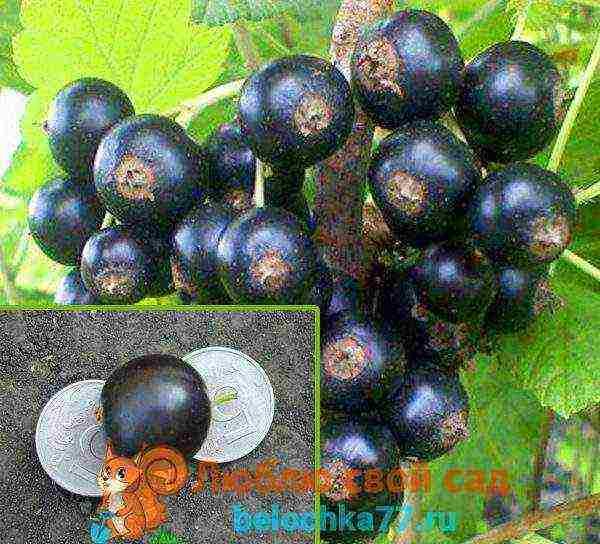 Лучшие и новые сорта черной смородины для урала, их описания и характеристики