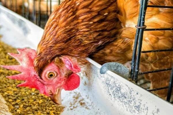 Почему куры несут яйца без скорлупы: причины и что с этим делать
