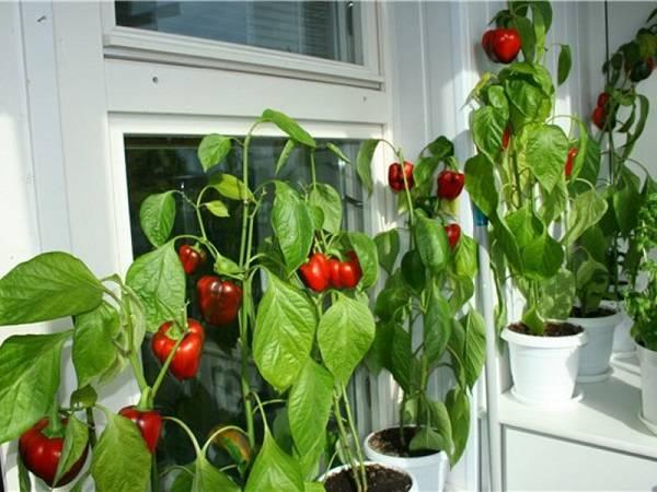 Популярные сорта комнатного острого перца и технология его выращивания