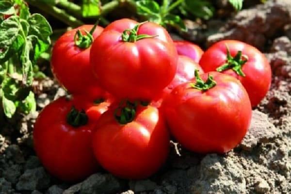 Описание сорта томата Садик f1, особенности выращивания и урожайность
