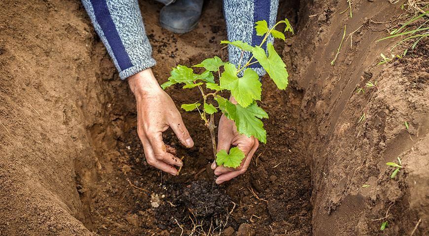 Пересадка винограда летом на новое место: как правильно и когда лучше